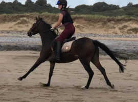 Beautiful 13.2h Bay mare