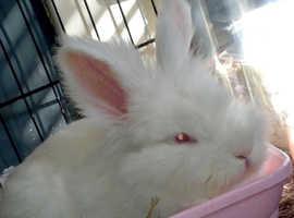 White Lionhead (albino)