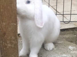 Cuddly blue eyed white mini lop