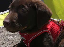 Beautiful Male Chocolate Labrador Puppy