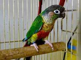 Baby Mix Conure Parrots