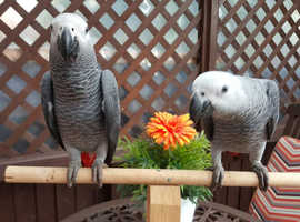 Hand Reared Tame Talking Baby Congo African Grey Parrots For Sale & Cages LONDON CITES A10 CERTIFICATE AND CARE SHEET