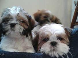 1 boy 1 girl left shih tzu puppies