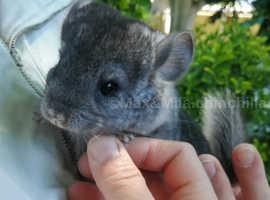 Chinchilla baby boy , Black Velvet carrier, rehome from 15th June