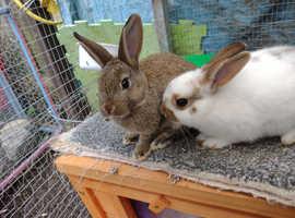 Mini Rex cross girl rabbits