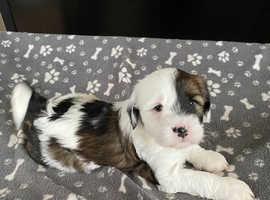 K.C. Gold, Sable & White Tibetan Terriers