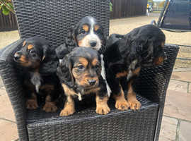 Bassett x cocker spaniel puppies