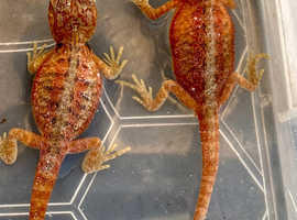 Red translucent bearded dragons