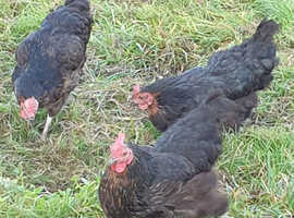 Black Rock, Young Laying Hens