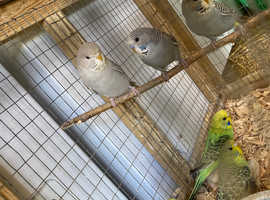 Male and Female baby budgies