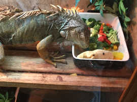 Puppy tame male iguana with fantastic viv