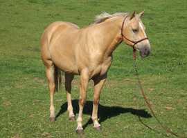 Hollymoon Top Cat Quarter Horse