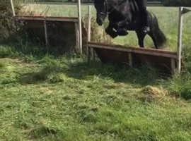 Black Fell pony
