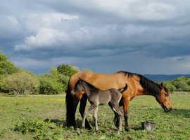 PRE FUSION HORSE ANDALUSIAN X ARAB