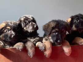 Longhaired German Shepherd puppies