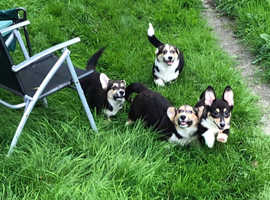 We are so glad to announce Caru the corgi has had a litter of 4 playful puppies,1 Tri colour girl and 3 Tri colour boys left and looking for there for