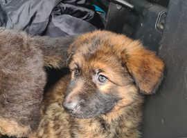7 week old boy puppy