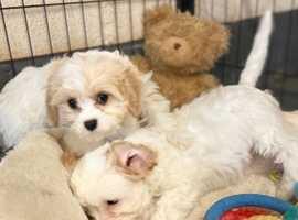 Wanted Cavachon Puppy