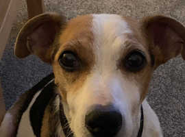 Jack Russell wanted pup wanted for a loving home