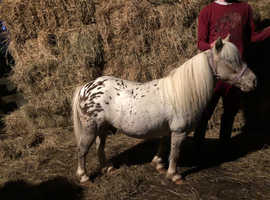 Well Bred Bombproof Spotted Gelding