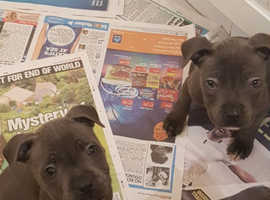 Kc Reg- (blue) Staffordshire Bull Terrier Puppies For Sale