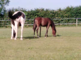 British riding pony filly yearling