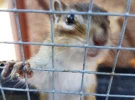 chipmunks for sale