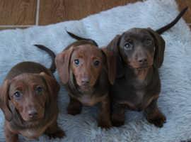KC Miniature Dachshund Puppies** Females
