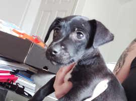 Beautiful boy patterdale x jack russell puppy