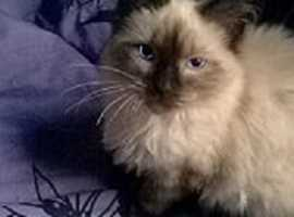 Birman Seal/Tortie Point Ragdoll Kittens ready leave for forever loving homes now. Indoor cats only!