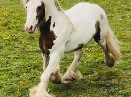 Woody Traditional Gypsy Cob Gelding