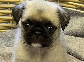 Beautiful pug x shih tzu pups!