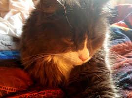 Missing Cat Muir of Ord