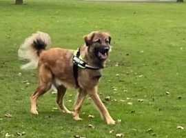 Leonberger Arni 2 years old for adoption