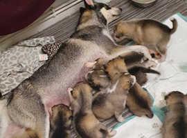 Beautiful Huskie puppies