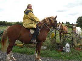 Horses  On Loan  Welsh Cobs