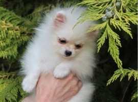 Micro mini Pomeranian girl xxs