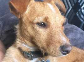 Jack Russel Stud Tan Dog.