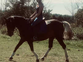 14.2hh gelding for part loan