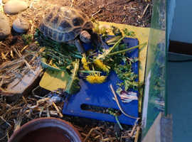 Horsfield tortoise 6 years old