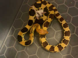 Mexican pine snake