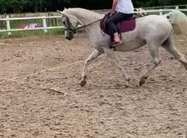 Stunning Violetta 14.2hh 15yr old flea bitten grey mare