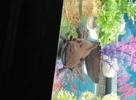 Axolotls x2