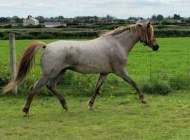 Welsh section B brood mare