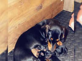 KC registered miniature dachshunds