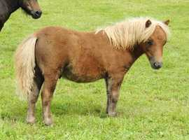 Stunning Registered Miniature Shetland Colt Foal