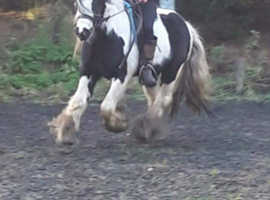 Lovely ride and drive  cob stallion 12.2