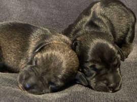 Miniature schnauzers puppy's
