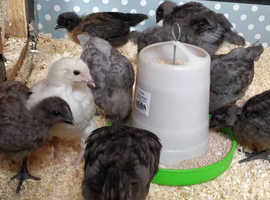 Hybrid pullets off heat
