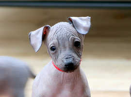 Amazing Mexican Hairless (XOLO) Looking For New Home